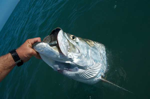 Key west fish species all water charters for Key west tarpon fishing