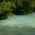 Key West Tarpon in Mangroves