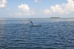 Tarpon Jumping in the shallows off Key West