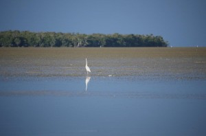 Bird standing in the shallows off Key west