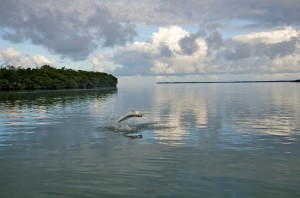 Tarpon jumping in the Marquesas Keys