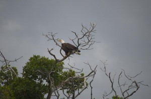 Bald eagle near Key West