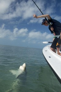 Lemon shark being landed