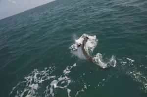 Tarpon Jump in Key West
