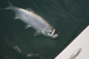 Tarpon Side Profile